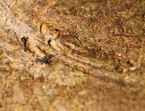 Drosophila(Tau- , Essigfliege) mit Eiablage in Rindenritzen(links wie oben)