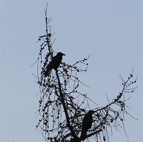 Krähen(Corvidae) auf einer europäischen Lärche(Larix decidua(Mill.)) in der Märzsonne sich wärmend