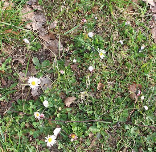 Am Wiesenrand Gänseblümchen(Bellis perennis(L.))