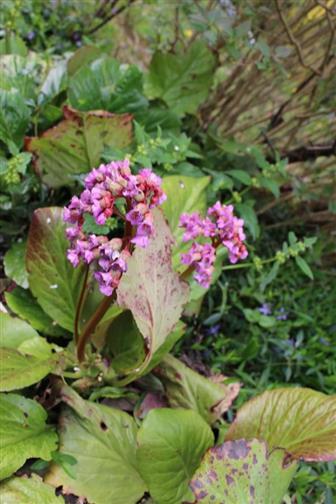 Herzblättrige Bergenie(Bergenia(Moench) cordifolia) purpurea