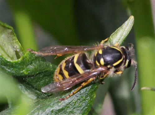 Gemeine Wespe(Vespula vulgaris(L.)) Königin auf Suche nach einem Nistplatz