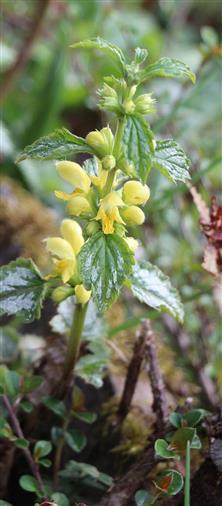 Gewöhnliche Goldnessel(Lamium galeobdolon(L.))