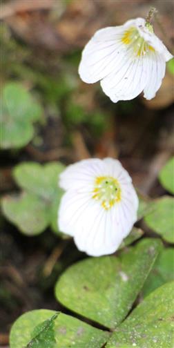 Waldsauerklee(Oxalis acetosella(L.)).jpg