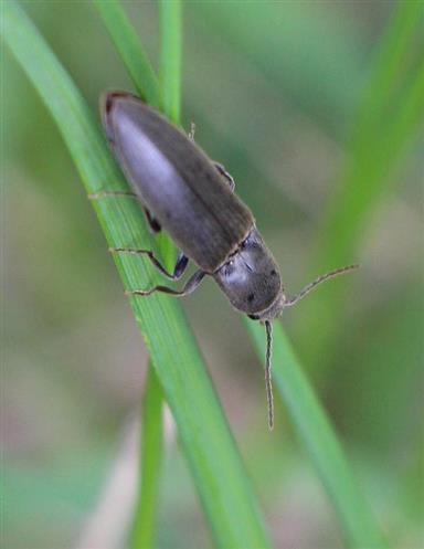 Rotbauchiger Laubschnellkäfer(Athous haemorrhoidalis(Fabricius 1801))
