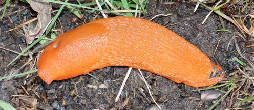 Spanische Wegschnecke(Arion vulgaris(Moquin-Tandon 1855))