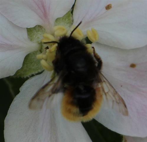 Mauerbiene(Osmia bicolor(Schrank 1781))