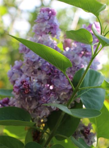 Gemeiner Flieder(Syringa(L.) vulgaris Hybride)