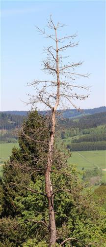 Etwa ein dürrer Vorbote für eine kommende Klimaerwärmung? Gemeine oder Waldkiefer(Pinus sylvestris(L.))