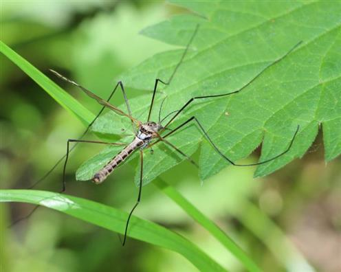 Schnake Tipula caloptera(Loew)