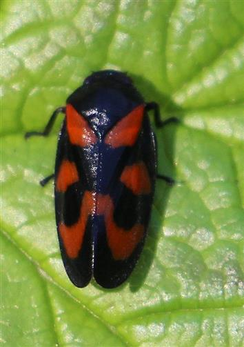 Gemeine Blutzikade(Cercopis vulnerata(Leach 1815))
