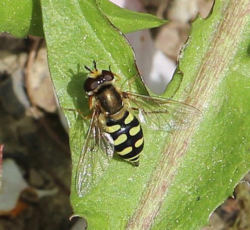 Gemeine Feldschwebfliege(Eupeodes corollae(Fabricius 1794))