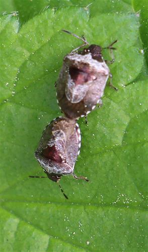 Dunkler Dickwanst(Eysarcoris fabricii(Kirkaldy))