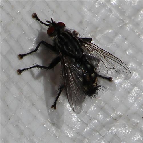 Graue Fleischfliege(Sarcophaga carnaria(L. 1758))