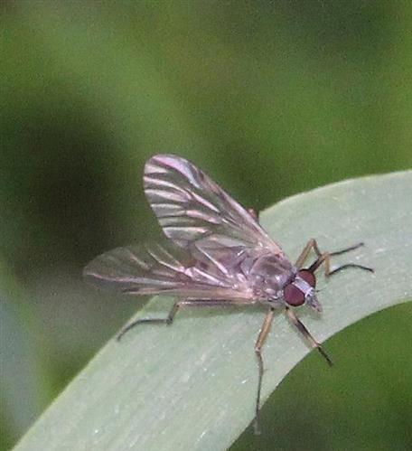 Gemeine Schnepfenfliege(Rhagio scolopaceus(L. 1758))