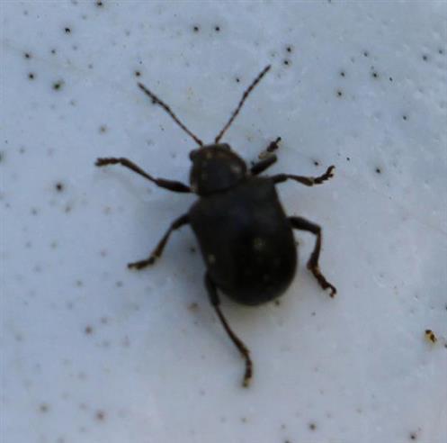 Rebenfallkäfer(Bromius obscurus(Chevrolat 1836))