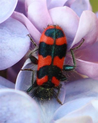 Zottiger Bienenkäfer (Trichodes alvearius(Latreille 1802))