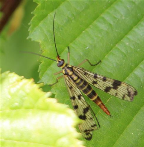 Gemeine Skorpionsfliege(Panorpa communis(L. 1758)) weibliches Imago