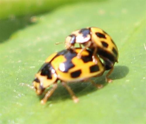 Vierzehnpunkt-Marienkäfer(Propylea quatuordecimpunctata(L. 1758)) in Kopula
