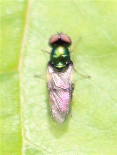 Grünglänzende Waffenfliege(Microchrysa polita(L. 1758))