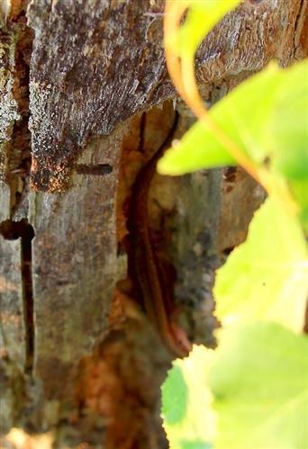 Waldeidechse(Zootoca vivipara(Lichtenstein 1823)) im Versteck am Baumstumpf