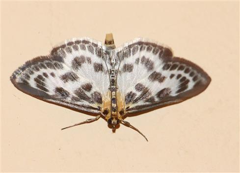 Brennnesselzünsler(Eurrhypara hortulata(L. 1758))