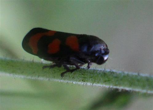 Blutzikade am Stängel(Cercopis vulnerata(Leach 1805))