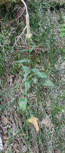 Ährige Teufelskralle(Phyteuma spicatum(L.)) verblüht