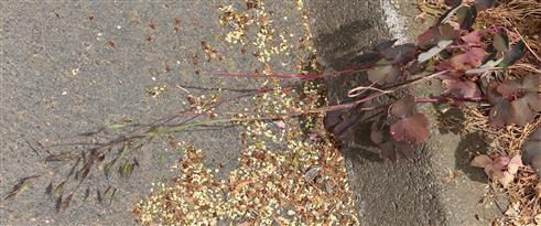 Aufrechte Trespe(Bromus erectus(L.))