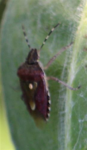 Beerenwanze(Dolycoris baccarum(L. 1758))