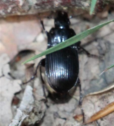 Ovaler Breitkäfer(Abax ovalis(Duftschmid 1812))