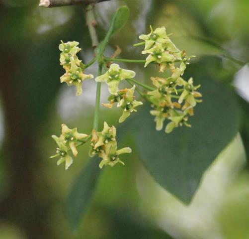 Blüten des europäischen Pfaffenhütchens, gewöhnlichen Spindelstrauches(Euonymus europaeus(L.))