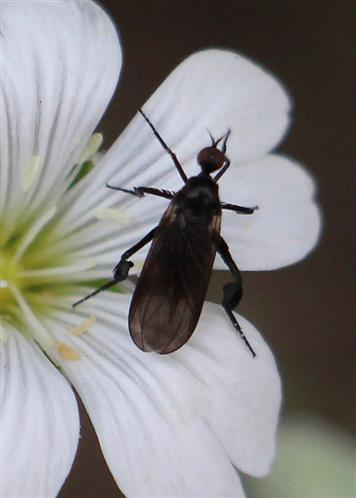 Federbeinige Tanzfliege(Empis pennipes(L. 1758))
