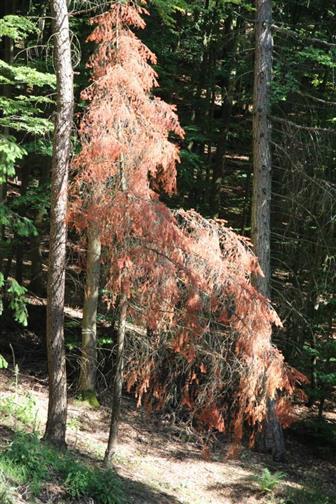 Abgestorbene, gemeine Jungfichte(Picea abies(L.)) wegen Borkenentfernung mit fast vollständiger Ringelung