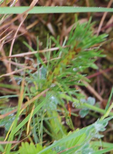 Bsp. für eine Fichten-Naturverjüngung(Picea abies(L.))