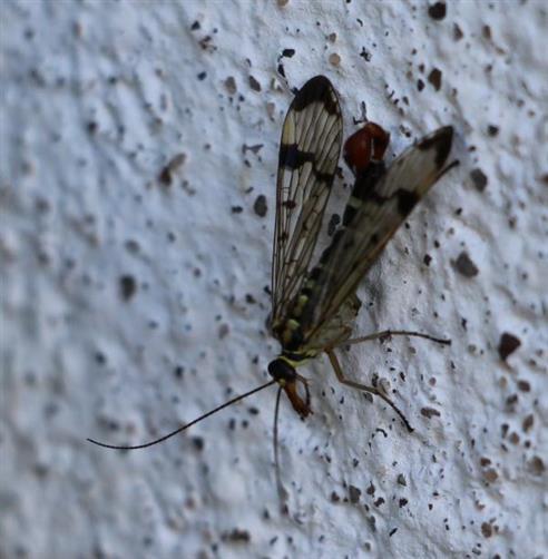 Gemeine Skorpionsfliege(Panorpa communis(L. 1758)) männliches Imago