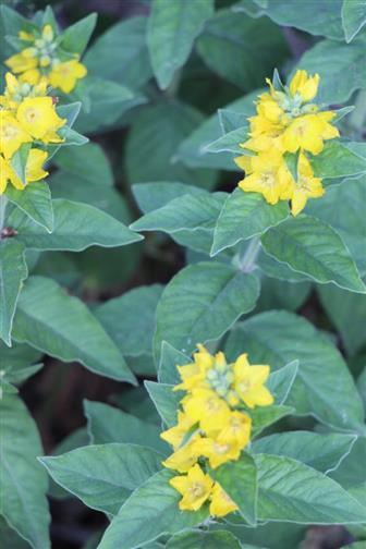 Gepunkteter Gilbweiderich(Lysimachia punctata(L.))