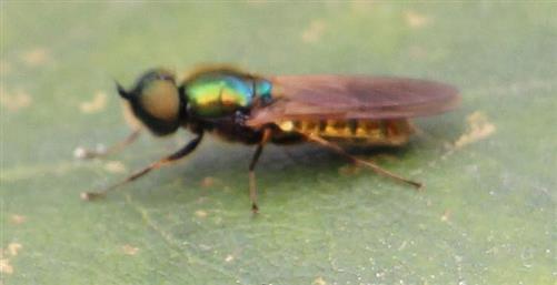 Grünglänzende Waffenfliege(Microchrysa polita(L. 1758)) 1