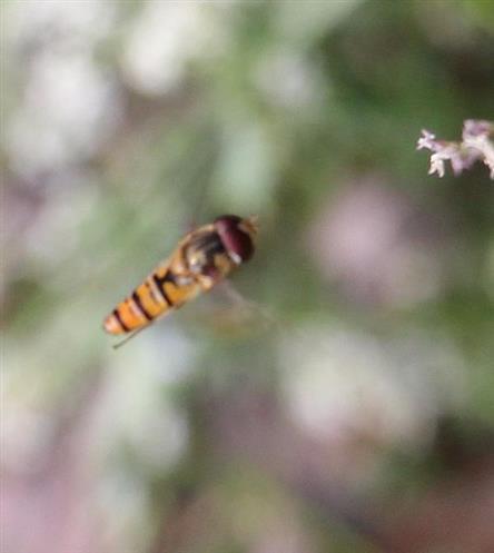 Hainschwebfliege(Episyrphus balteatus) im Anflug
