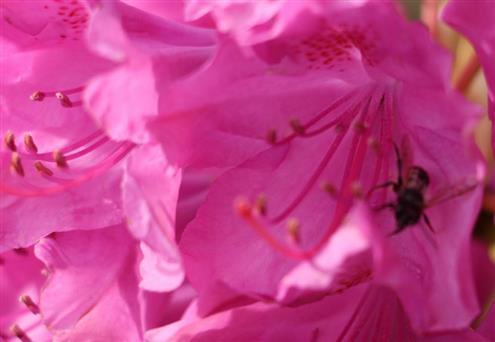 Westliche Honigbiene(Apis mellifera(L. 1758)) in einer Blüte des pontischen Rhododendrons(Rhododendron ponticum