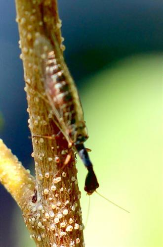 Kamelhalsfliege (vermutlich Xanthostigma xanthostigma(Schummel 1832))