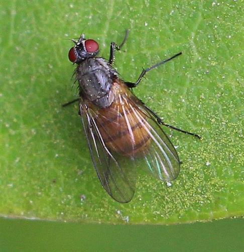 Fliege (Phaonia subventa(Harris 1780))