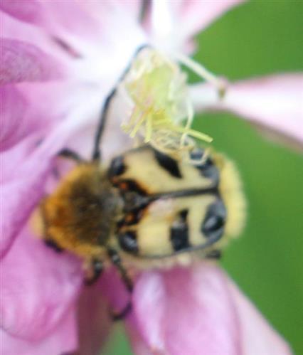Pinselkäfer(Trichius fasciatus(L. 1758))