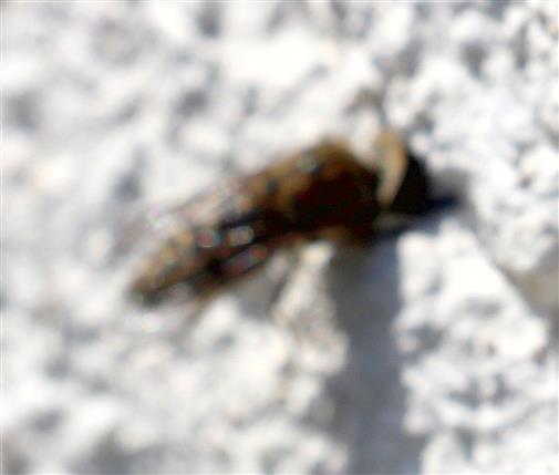 Regenbremse(leider unscharf abgebildet)(Haematopoda pluvialis)) - auf der Flucht vor einem Verfolger - mit dem Kopf in einer Hauswand gefangen