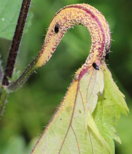 Brennnessel(Urtica dioica(L.)) mit Sporen eines Rostpilzes(Pucciniales)