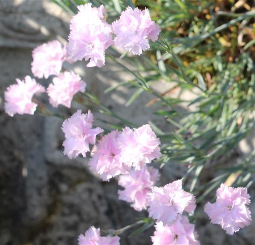 Nelke(Dianthus) rosa