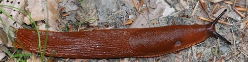 (Gerade noch eine) Spanische Wegschnecke(Arion vulgaris(Moquin-Tandon 1855))