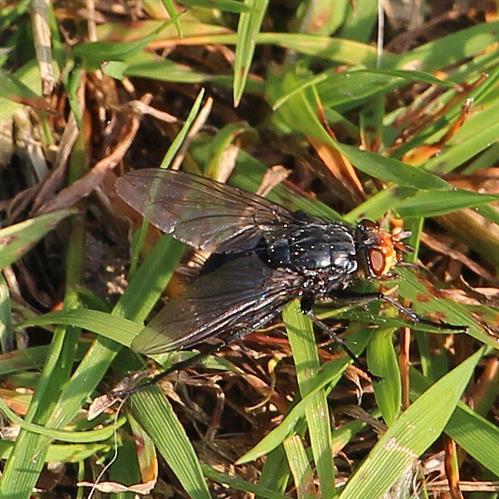 Toten- oder Friedhofsfliege(Cynomya mortuorum) 1