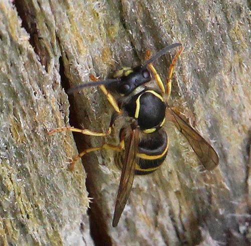Gemeine Wespe(Vespula vulgaris(L. 1758)) beim Einsammeln von Baumaterial