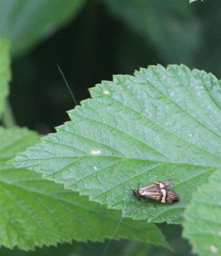 Degeers Langfühler(Nemophora degeerella(Bruand 1851)) 1