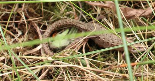 Waldeidechse(Zootoca vivipara(Lichtenstein 1823))